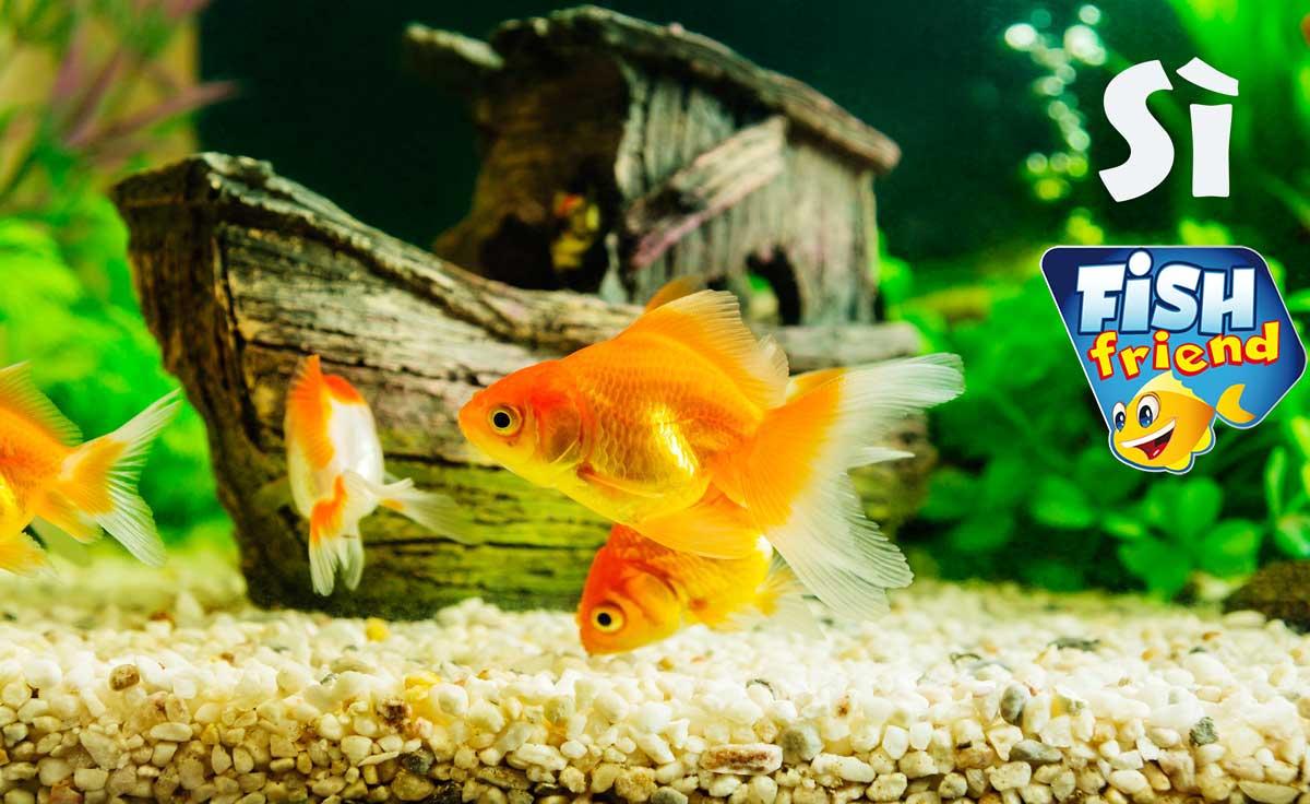 un acquario con pesci rossi fish friend On pesci rossi quanto vivono